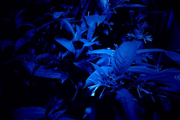 """Hicham Berrrada Mesk-ellil, 2015. 7 terrariums de 200x50x250 cm, leds bleues «clair de lune», éclairage horticole, temporisateur et Cestrum noctumum. Dans le cadre de l'exposition """"Matérialité de l'Invisible"""" au CENTQUATRE-PARIS, dans le cadre du projet européen NEARCH, en collaboration avec l'Inrap. Photo Fabrice Seixas. Courtesy de l'artiste et kamel mennour, Paris"""